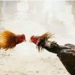 cara memilih situs agen sabung ayam terbaik